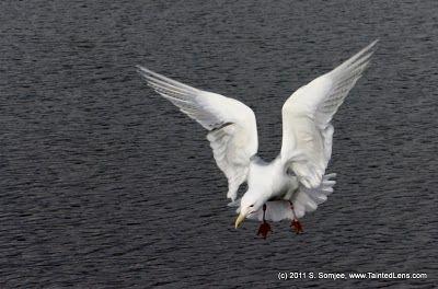 Angel - Seagull