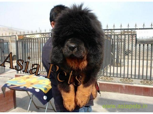 Tibetan mastiff puppy for sale in Surat at best price