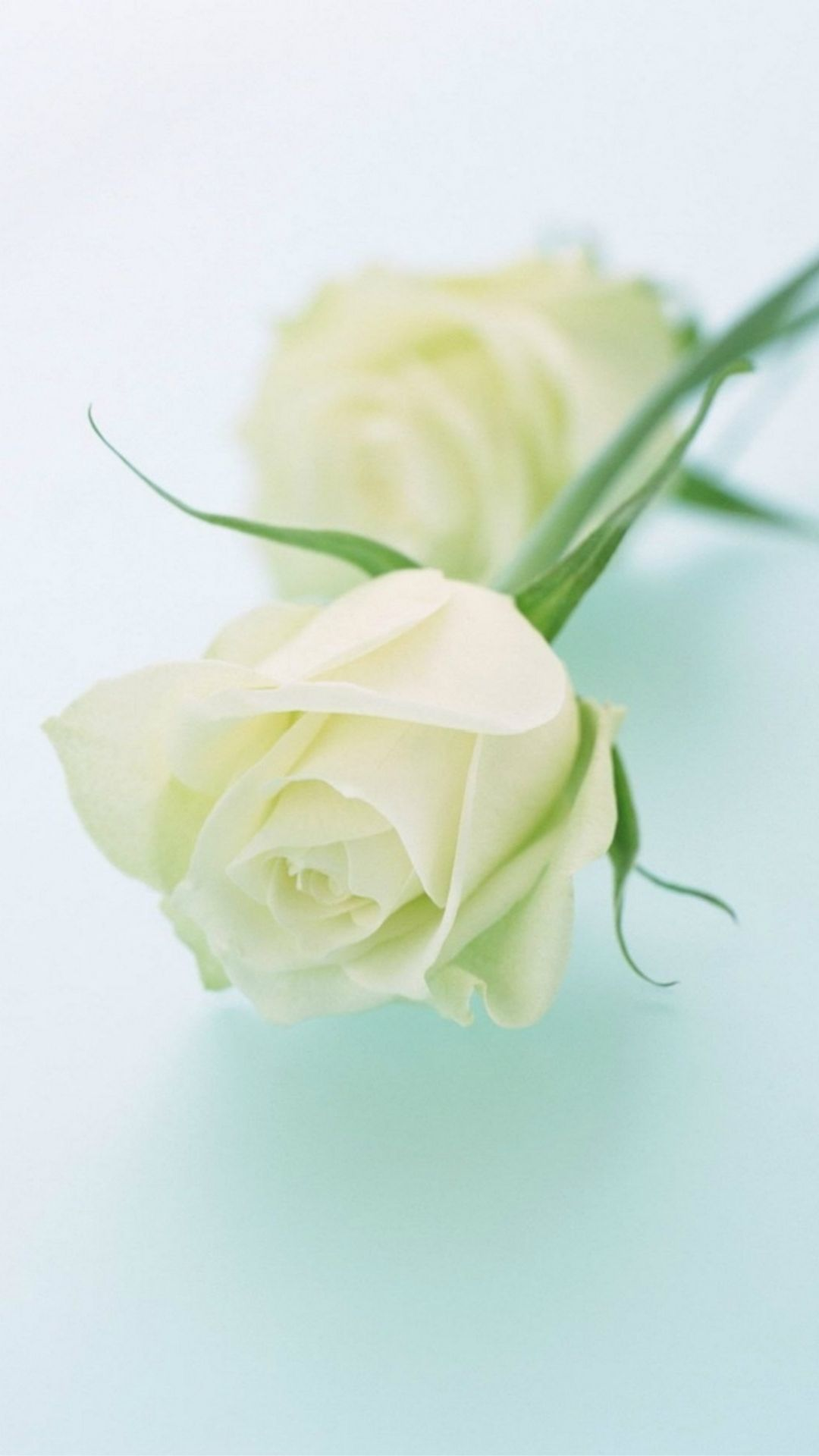 Pure Elegant White Rose Plant Branch Iphone 6 Wallpaper Download Iphone Wallpapers Ipad Wallpapers One Stop D White Rose Flower White Rose Plant White Roses