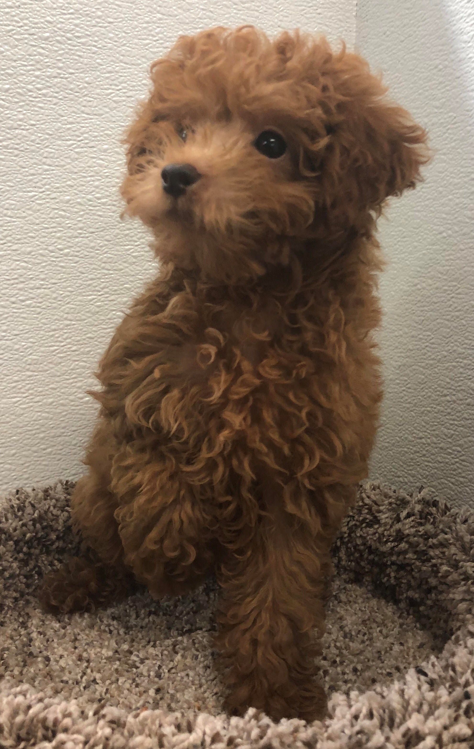Petland Kansas City Has Poodle Puppies For Sale Check Out All Our