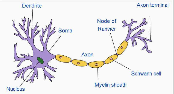 Image result for neuron model | anatomy and physiology | Pinterest ...