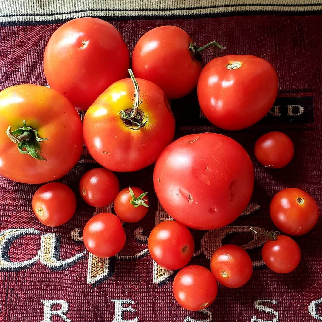 Tomatoes From My Garden Nothing Beats Fresh From The Vine Mygarden Gardeningphoto Summerinnewengland Tomato Vines Fresh