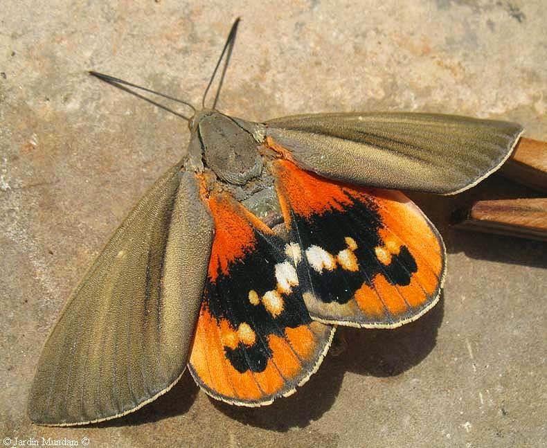Paysandisia Tratamiento En Las Palmeras Contra La Plaga Insectos Arte De Insectos Besos De Mariposa