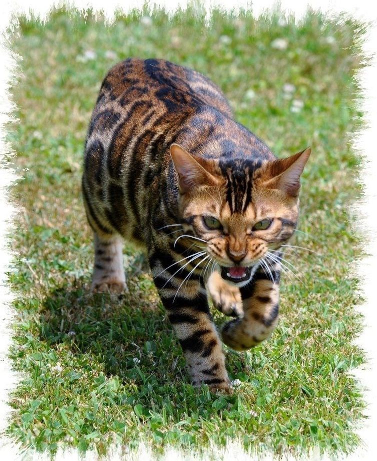 oh my god! my favourite cat in the world! a bengal they