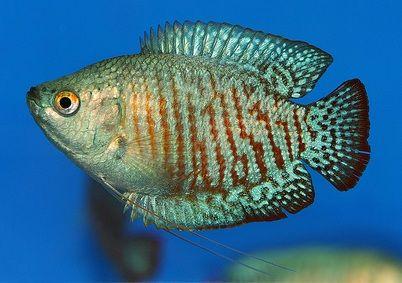 Neon Blue Dwarf Gourami Fish Tetra Fish Pet Aquarium Fish Fish