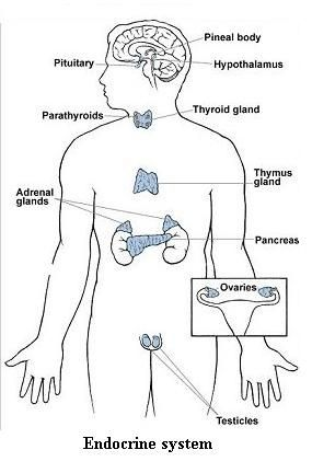 Endocrine System | CC Cycle 3 | Pinterest