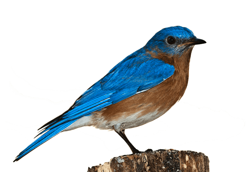 Crown Png Free Png Images Png Free Png Images Blue Bird Nature Birds Bird