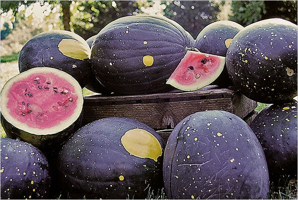 Moon and Stars Watermelon // Heirloom Watermelons: The Rise (and Crazy Names) of the New Sweetness>> check out this article from bonappetit.com about new flavors and looks of heirloom watermelons! http://ow.ly/d7vcV