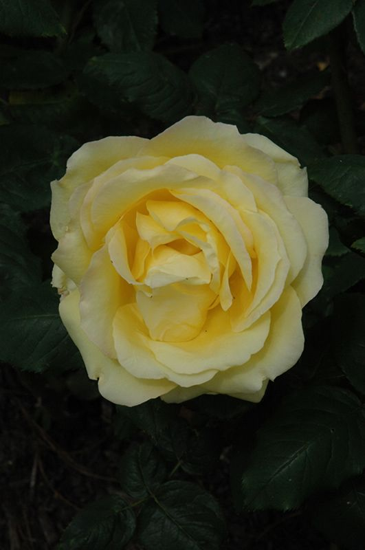 Easy Going Rose Rosa Harflow At Woldhuis Farms Sunrise Greenhouses With Images Rose Types Of Roses Garden Supplies