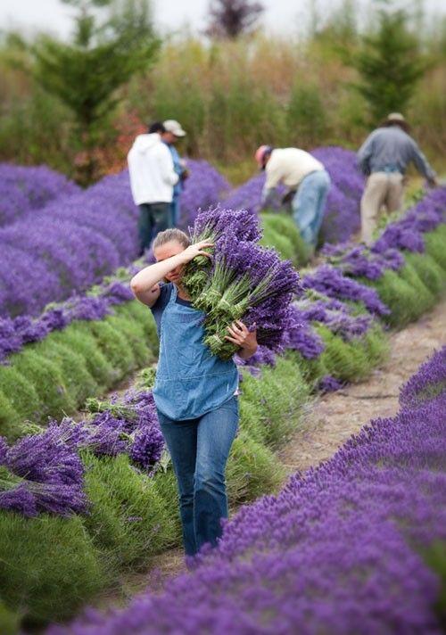 Sequim Lavender Farm: Background - Purple Haze Lavender (Sequim, WA)
