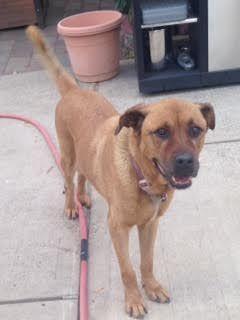 Lost Dog Rottweiler In Queens Village Ny Lostmydoggie Com Losing A Dog Rottweiler Breed German Shepherd Colors
