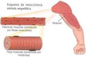 Resultado de imagem para fisiologia humana muscular