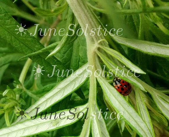 Nature Photography Home Decor Insect Ladybug by JuneSolstice