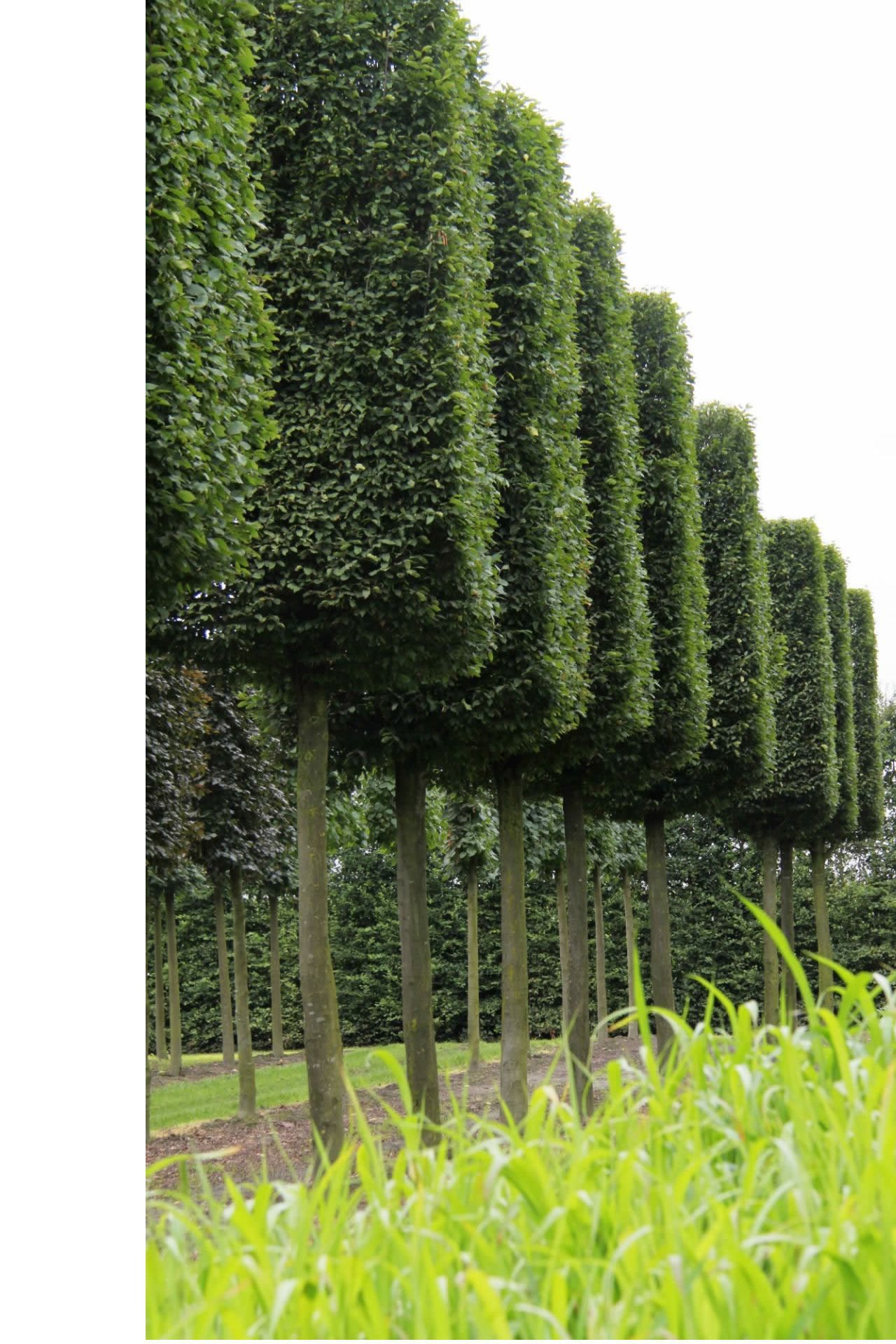 Topiary Boxhead Trees Instant Screening Hedge On Stilts