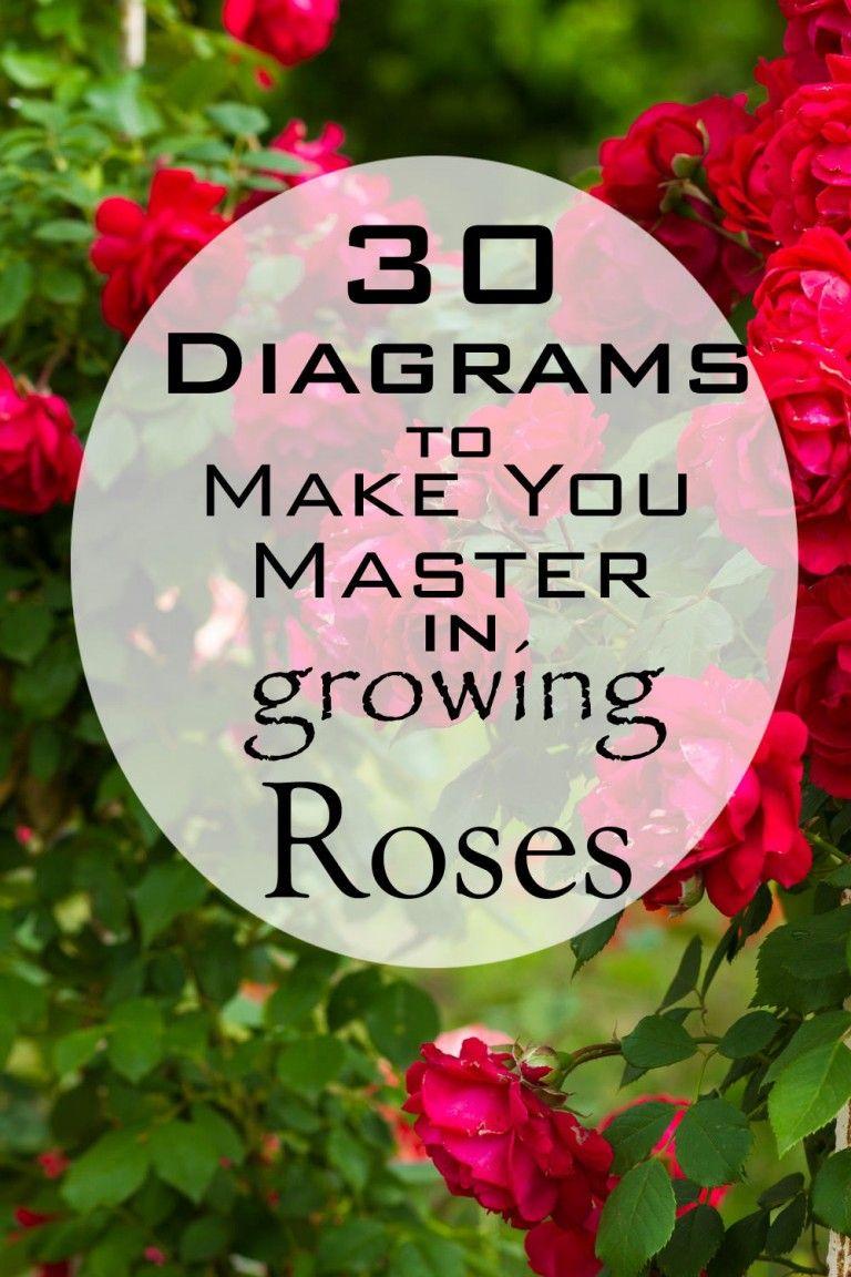 diagrams to make you master in growing roses master gardening