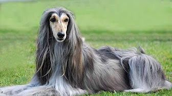 Grooming The Afghan Hound - YouTube
