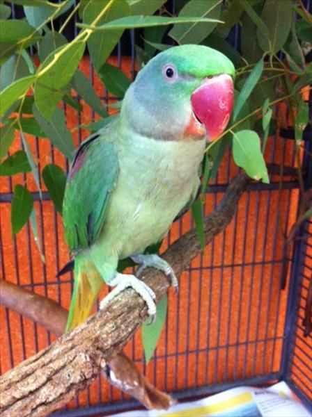 I Am A Lucky Fella I Have Two Names I Go By Tambor Or Buddy I M An Alexandrine Parrot Just Between You And Me I P Alexandrine Parrot Animals Adoption