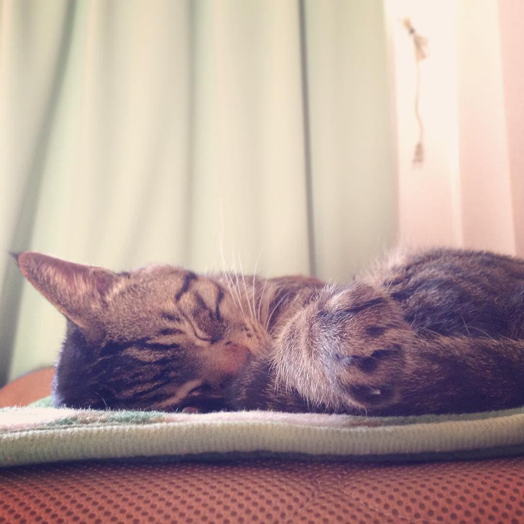 おはムサシ スヤスヤ二度寝Peacefully. #musashi #mck #cat #キジトラ #ムサシさん by _daisy