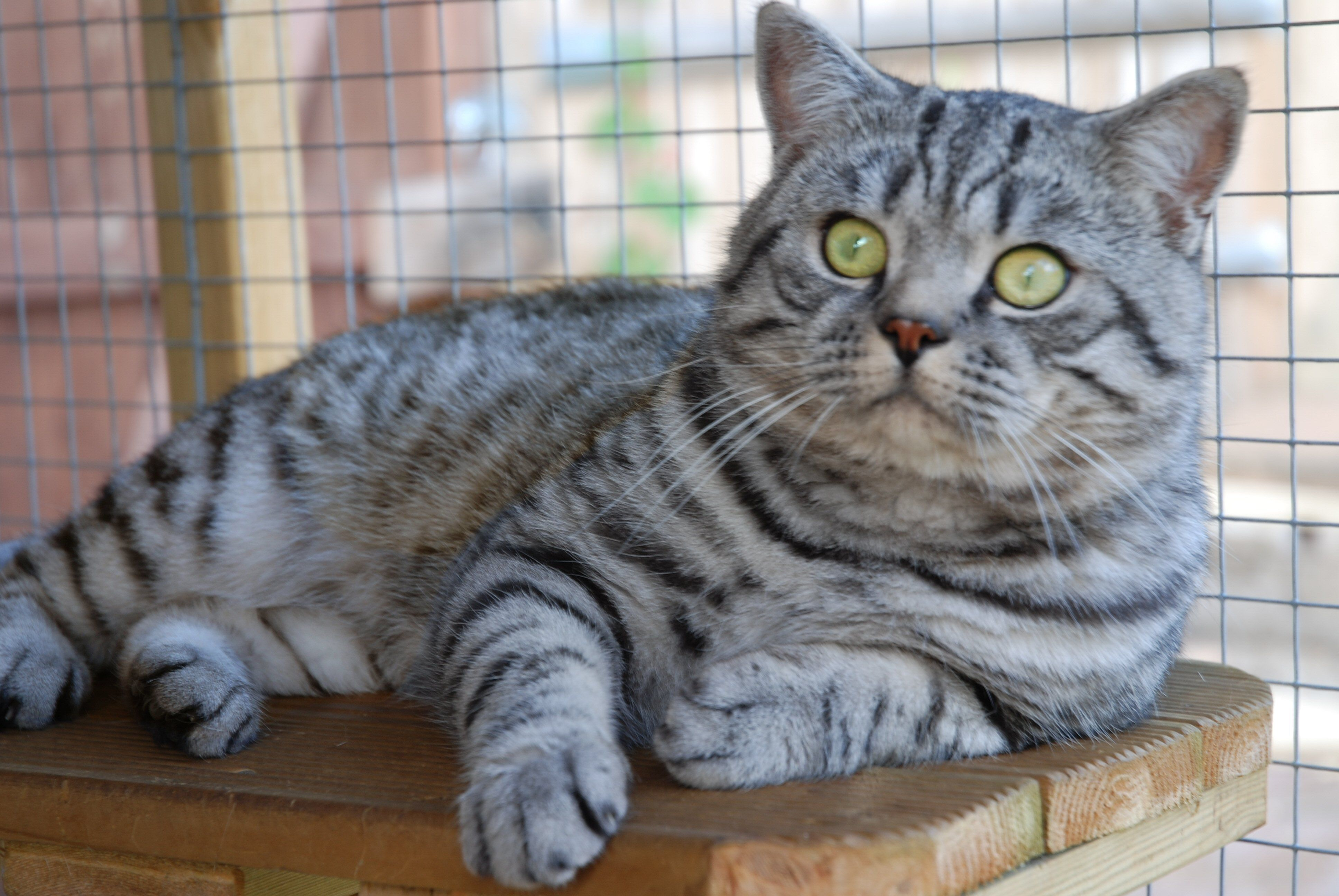 British Shorthair Breeders Of Silver Tabby We Have Colourpointed Kittens For Sale Ready To Go To New Homes Now Description From Kavatechnology C Animaux Chat