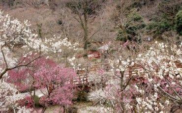 Atami : une ville thermale d'antan dans la préfecture de Shizuoka ! #Japon #pruniers #voyage