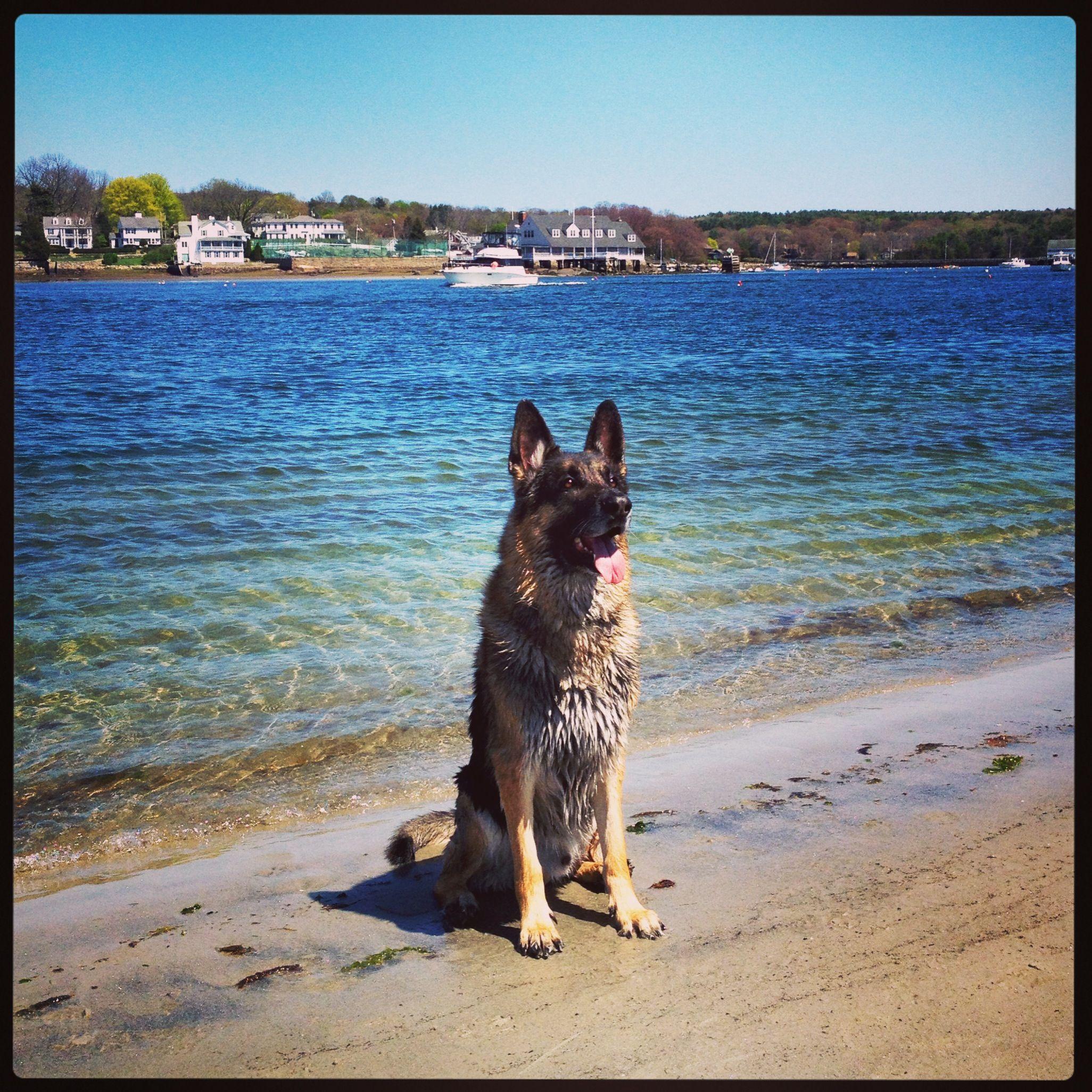 Wingaersheer beach German shepherd, Shepherd dog, Gsd