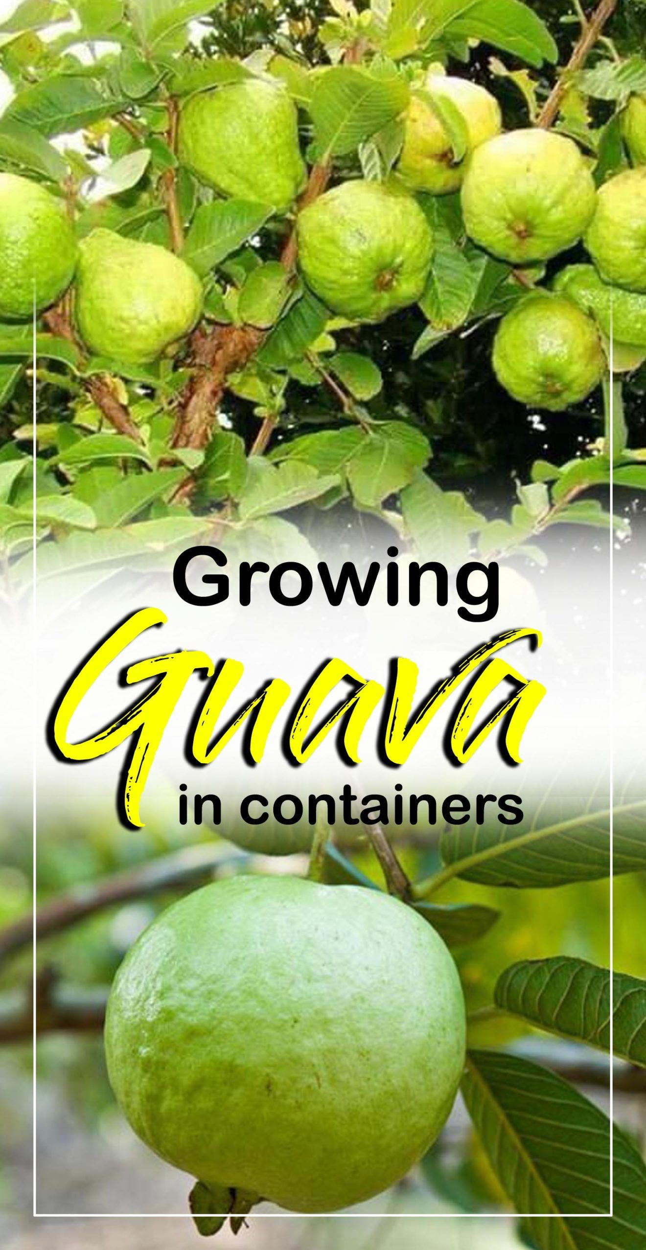 How to grow Guava tree in a container | herbal remedies