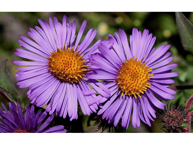 The University Of Texas At Austin Plants Native Plants Aster Flower