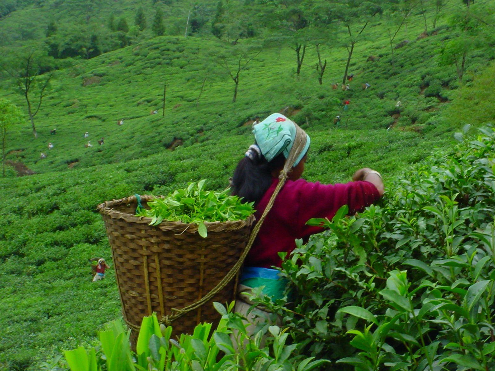 TEA ESTATE Tea estate, Growing tea, Indian tea
