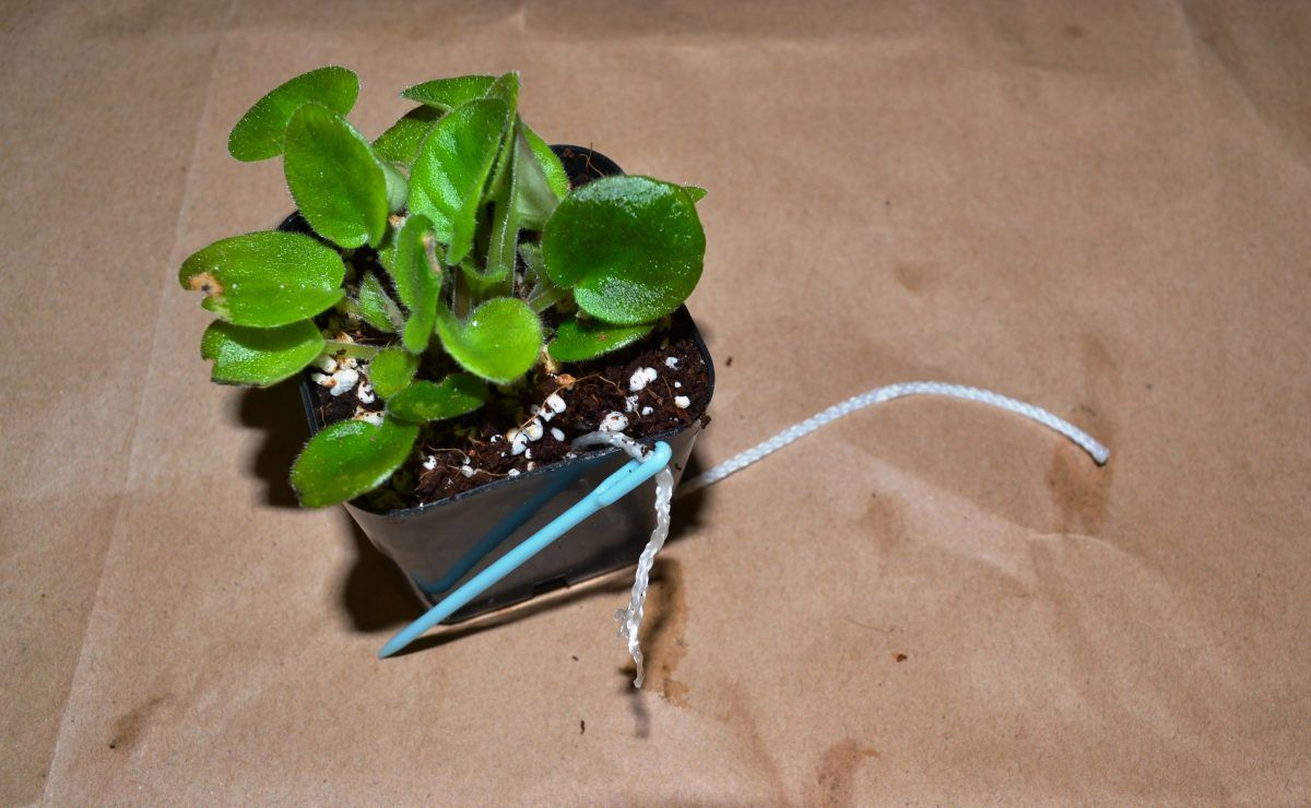Wick Watering for African Violet Plants Violet plant
