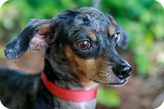Ika Is A 6 Year Old Dachshund Mix Who Has The Most Beautiful