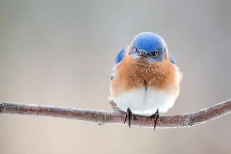 Angry Bluebird Photo by Ray Yeager - 2015 National Geographic Photo Contest