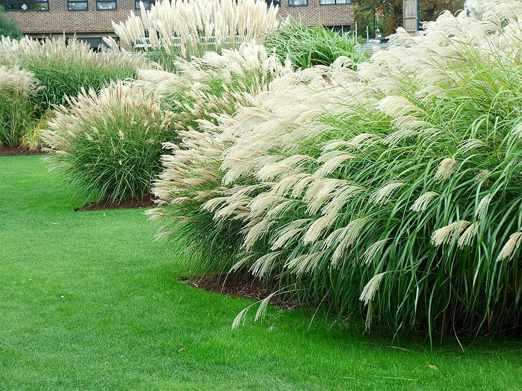 Grass Gardens Pictures   Google Search