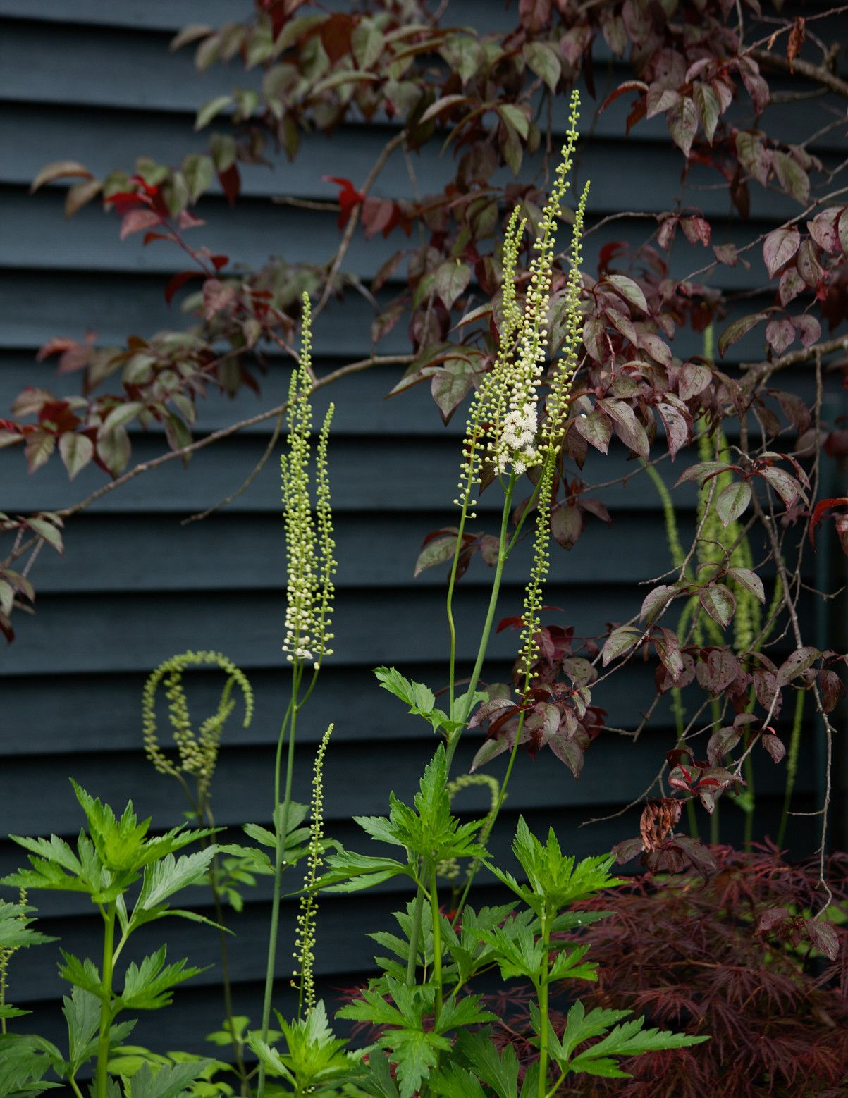 Graceful stalks of Cimicifuga racemosa burst upward in brilliant contrast to the inky exterior of a poolhouse. | Lonny June 2014
