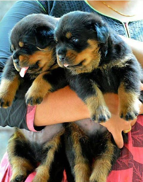 Find Out More On The Calm Rottweiler Puppy Grooming
