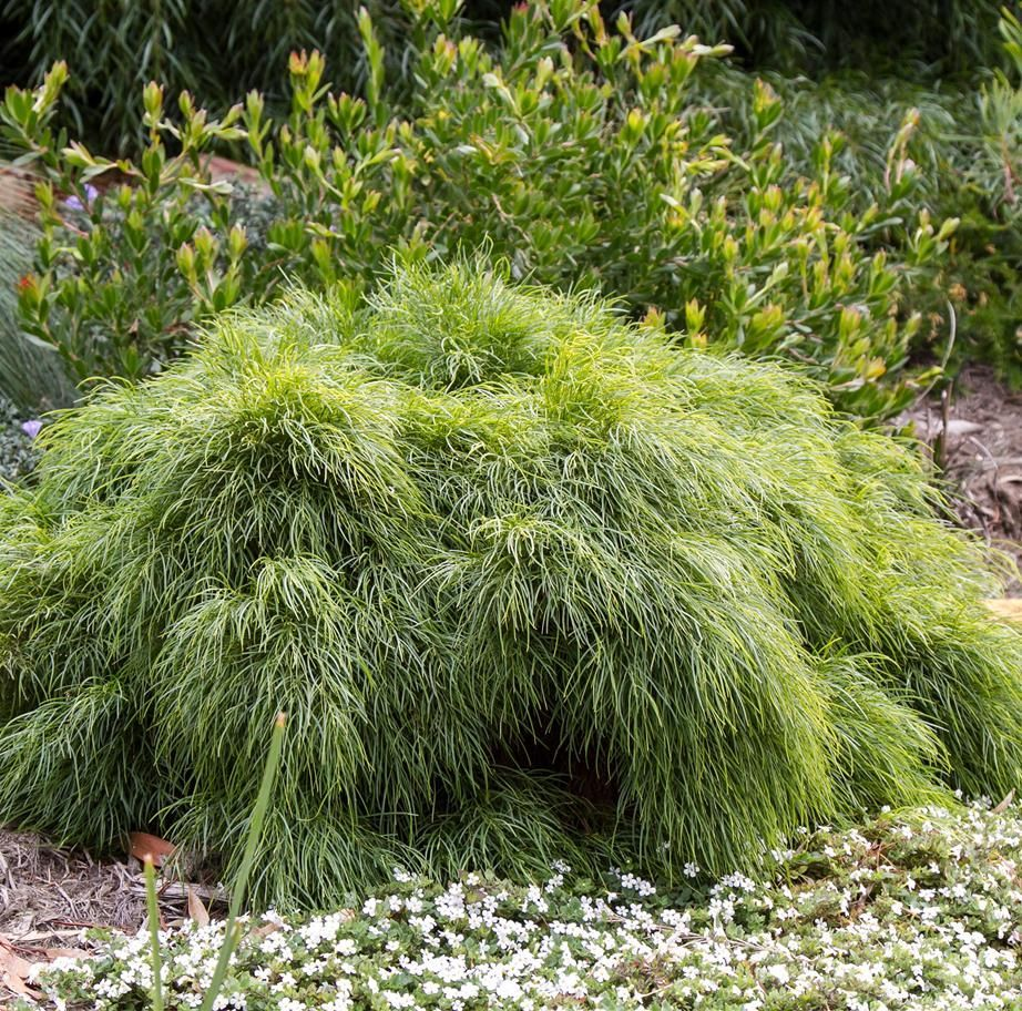 The Acacia Limelight Is Famed For Its Lush Lime Green Foliage And Compact Shape And Is The Perfect In 2020 Wisteria Plant Rock Garden Landscaping Australian Garden