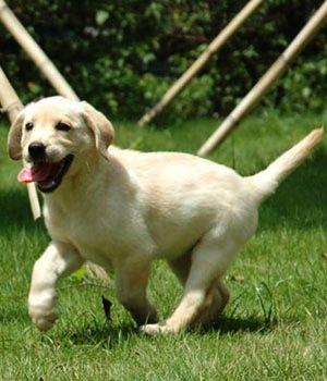 Labrador Retriever Price Temperament Life Span Dog Breeds