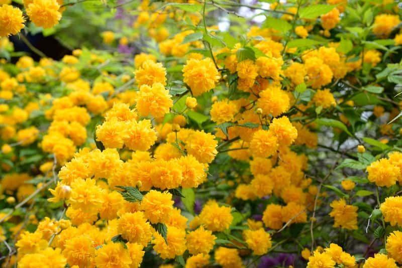 Zlotlin Japonski Pleniflora W Czasie Kwitnienia Oraz Uprawa Zlotlinu I Zasady Jego Pielegnacji Garden Plants Flowers