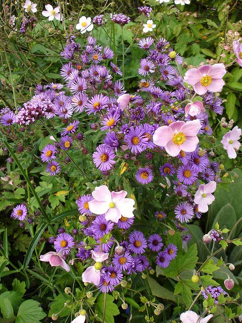 Asters Anemones Beautiful Flowers Plant Combinations Planting Flowers