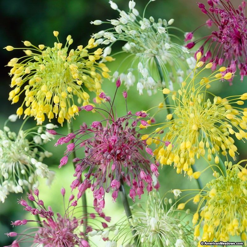 Fireworks allium mix allium gardens and plants allium fireworks mix is an explosion of early summer color in yellow white and pink only 10 tall and deer resistant allium cernuum mightylinksfo