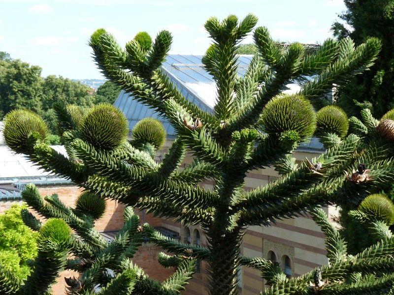 - Araucaria plante d interieur ...