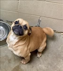 Roxy Is An Adoptable Pug Searching For A Forever Family Near