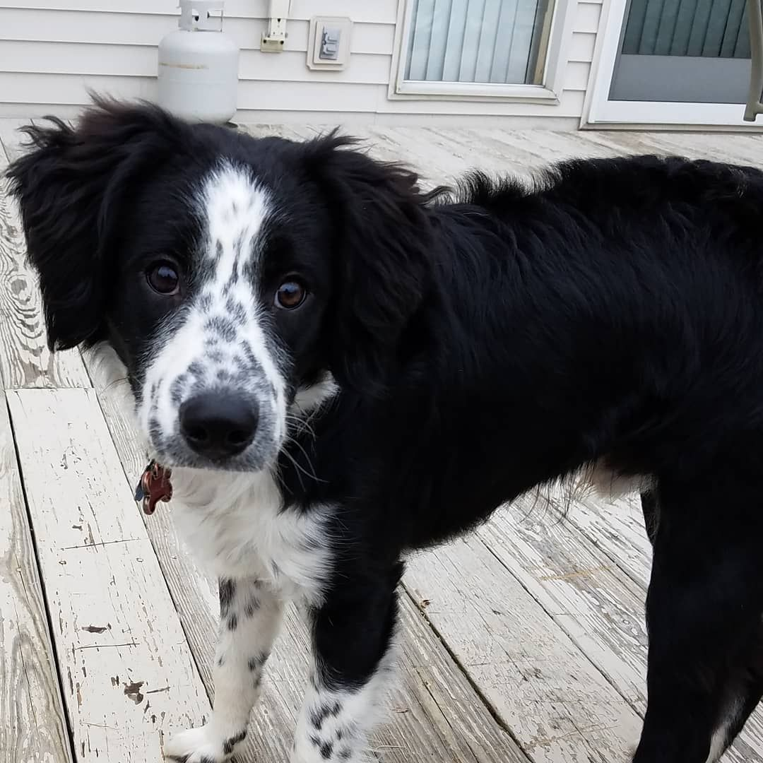 Sprollie With Images Sprollie Hybrid Dogs Border Collie Mix