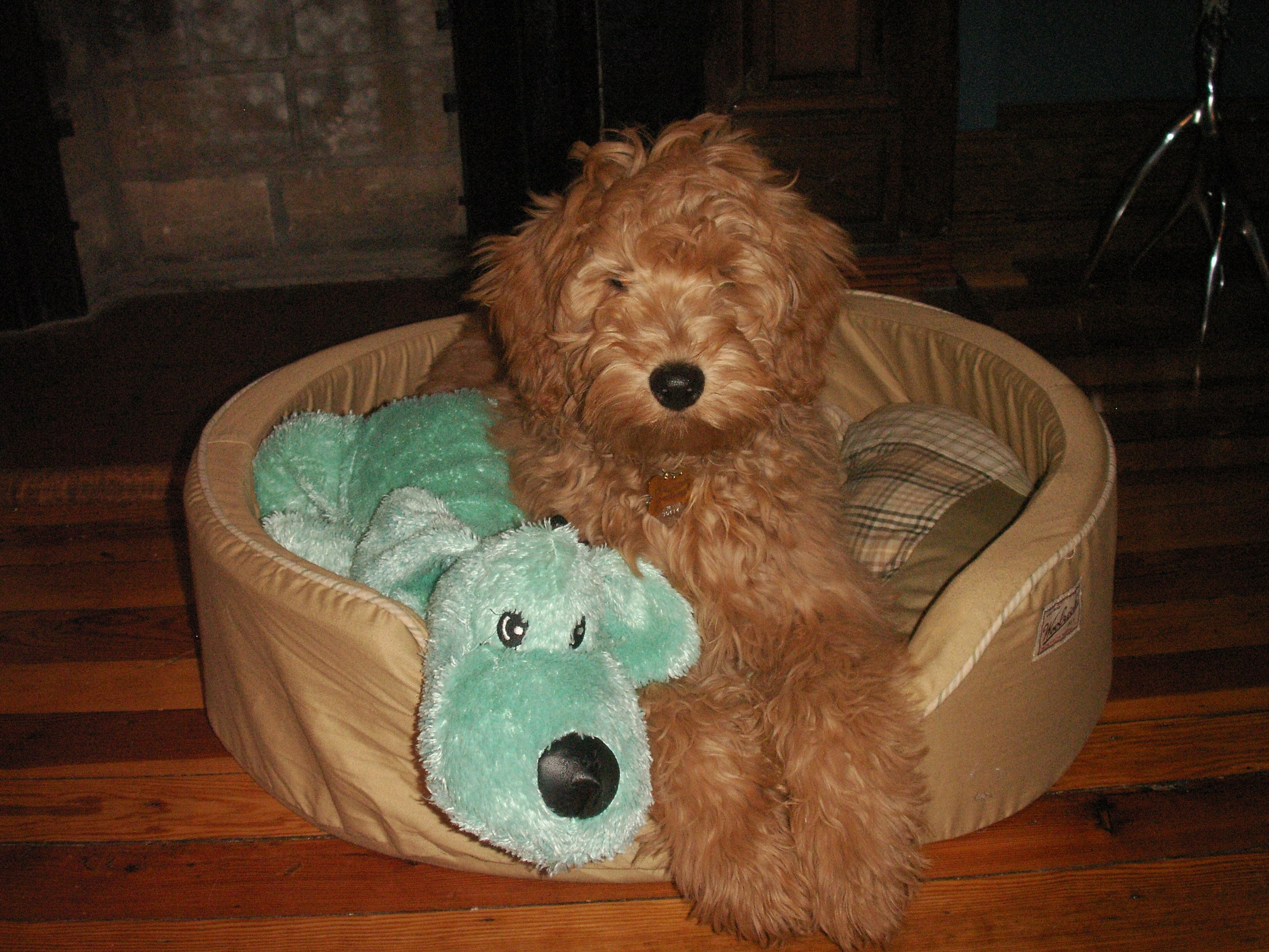 Goldendoodle Puppies For Sale In Atlanta Ga References