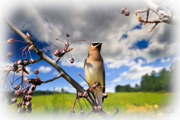 I love the Waxwings and i wait for them every year