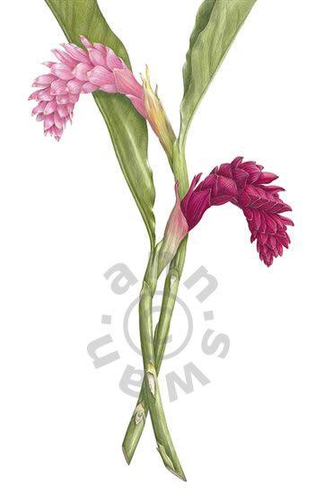 Ann Swan Ginger Flowers Alpinus Purpurata Mit Bildern Polychromos