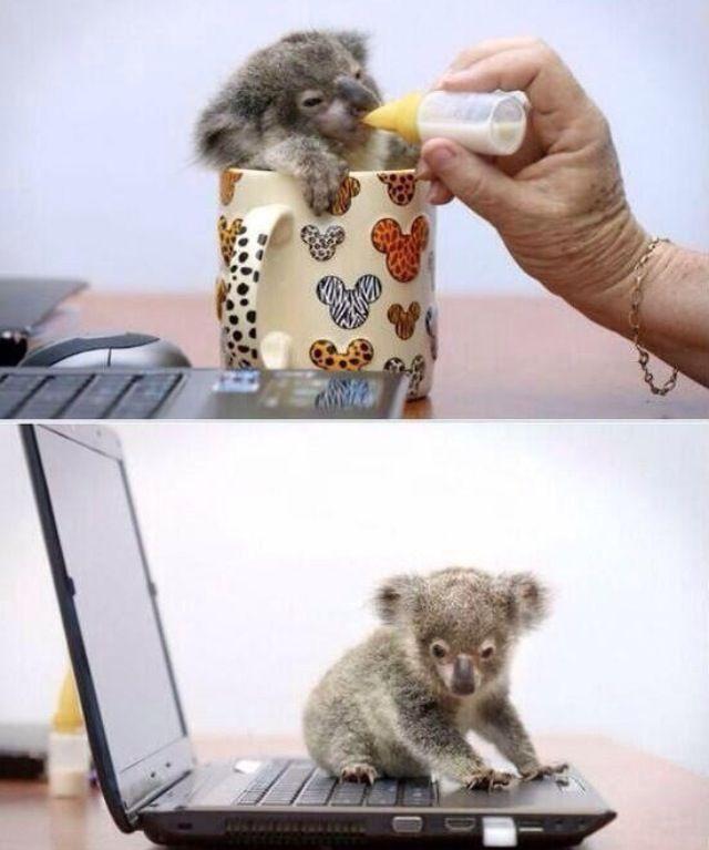 Most Inspiring Koala Bear Chubby Adorable Dog - 9302f0cacd60d26e531a5c507df2fa32  HD_721578  .jpg