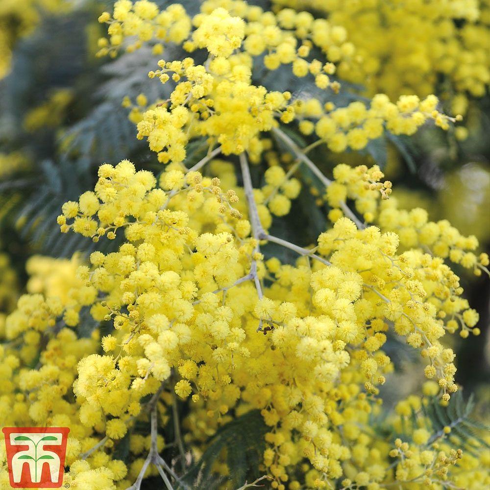 Acacia Dealbatamimosa Silver Wattle Acacia Dealbata Growing