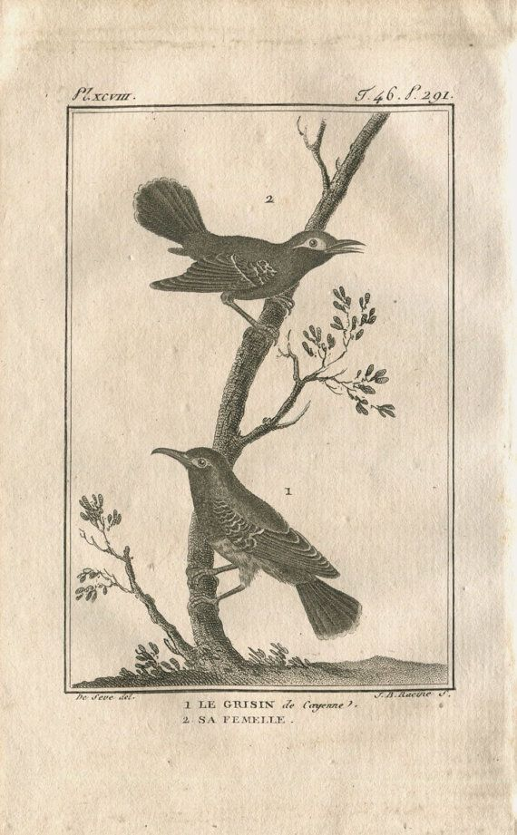 1802 Antique Print Birds Ornithology Grisin de by CarambasVintage