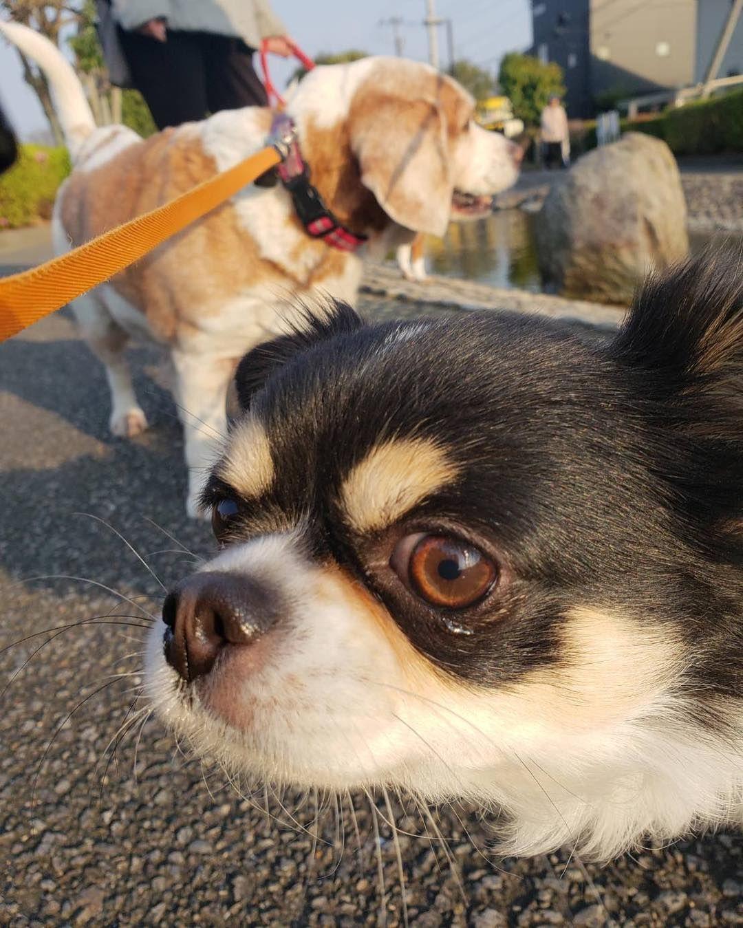Watch The Best Youtube Videos Online 散歩中に会ったお友達です 散歩 友達 チワワ 愛犬 犬 わんこ 動物 ペット 家族 後田川緑道公園 宮崎 九州 日本 Walk Walking Chihuahua Beagle Lemonbeagle Dog Animals Dogs