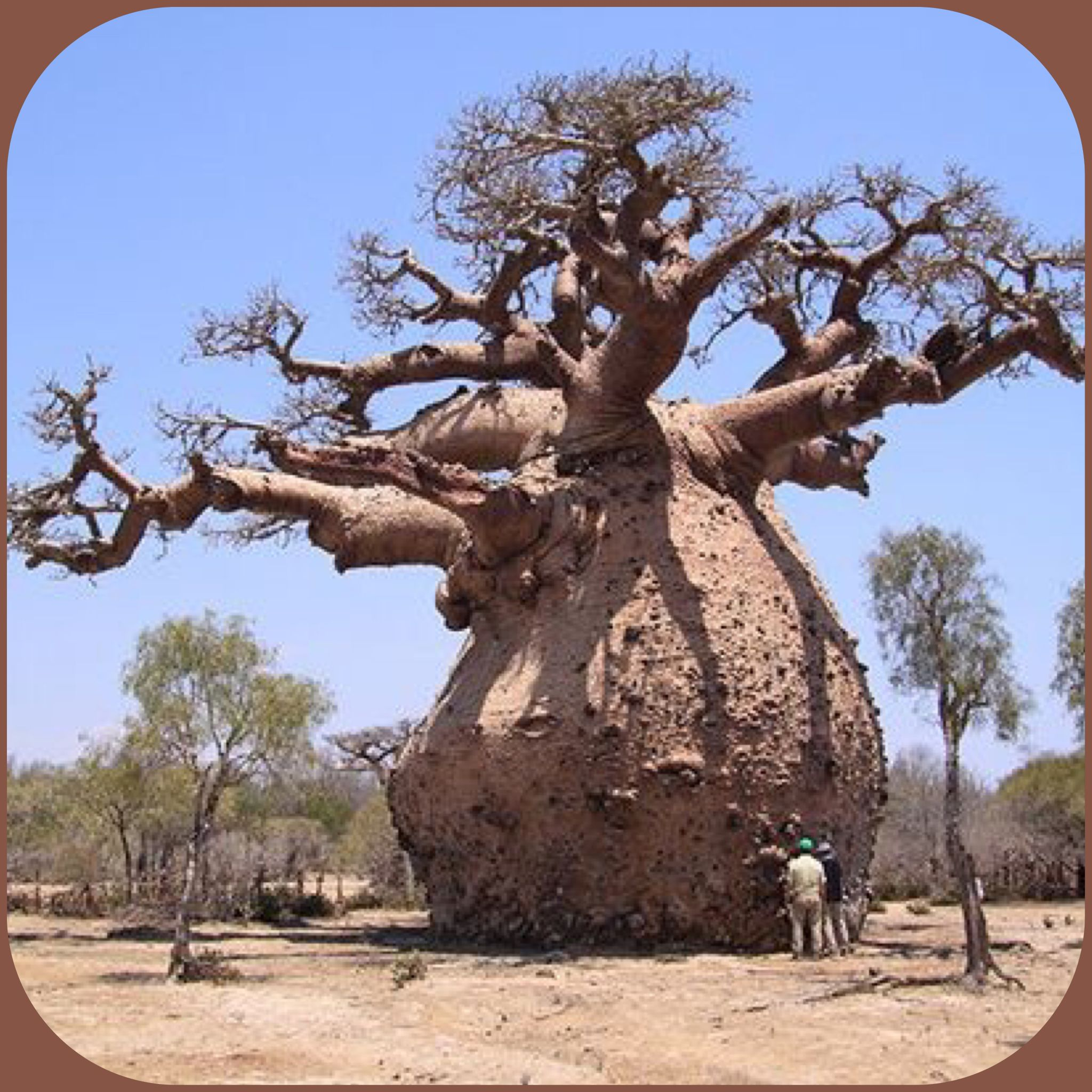 african tree of life Text and pictures document the life cycle of this amazing tree of the african savannah, and portrays the animals and people it helps to support.